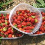 Strawberry Picking at The Ridge & Skillet Strawberry Jam